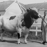 Coronation Matador Sultan 3000 lb prizewinning bull 1936 with Winfield Cooper