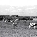 Round Top Dairy Cows