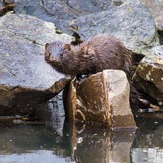 mink on rocks by water