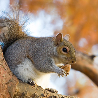 grey squirrel in a tree holding an acorn in its paws