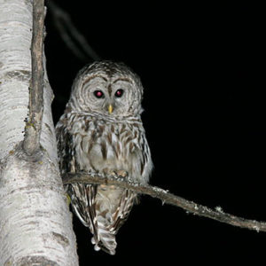 Barred Owl perched on a limb at night