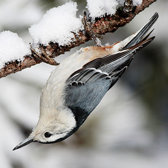 white-breasted nuthatch hanging upside down on a snowy twig