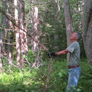 volunteer pulling down bittersweet vines