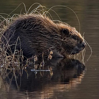 beaver at the water's edge