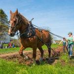 horse plowing the garden