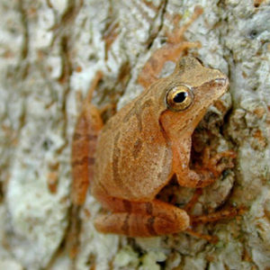 spring peeper on a tree