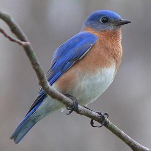 eastern bluebird perched on a twig