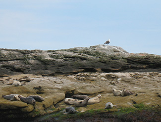 basking seals on rocks
