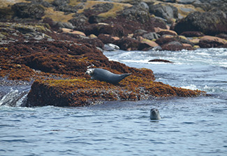 two harbor seals