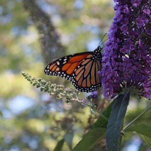monarch butterfly on a butterfly bush flower