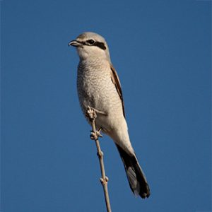 Northen Shrike