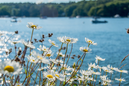 daisies on the harbor