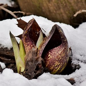 skunk cabbage blooming in the snow