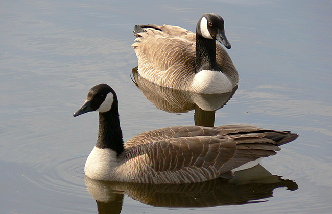 A pair of Canada geese swimming