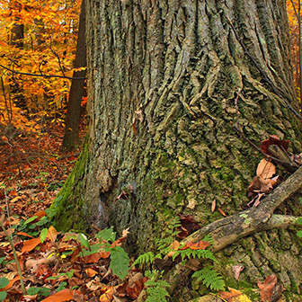 base of an old red oak with fall foliage