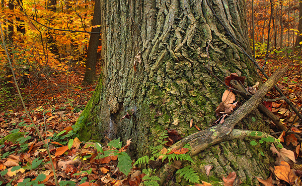 base of an old red oak surrounded by fall foliage