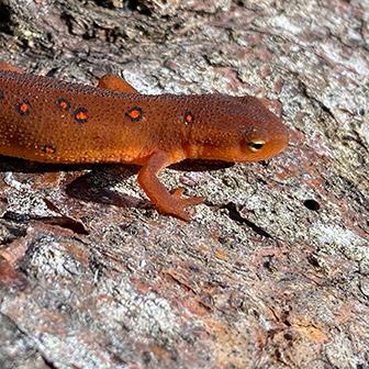 eastern newt eft