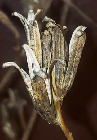 detail of dried evening primrose flower