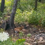 fawn resting under a tree