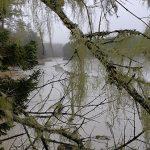 a curtain of usnea lichen at Seal Cove