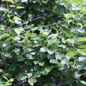 invasive oriental bittersweet vines