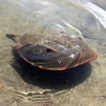 horseshoe crab swimming