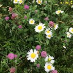 ox-eye daisies and red clover