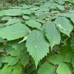 beaked hazelnut shrub with developing nuts