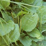 common plantain with seed stalks