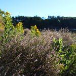 sea lavender and goldenrod on Great Salt Bay