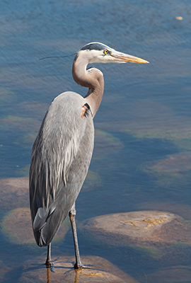 Great Blue Heron on a rock in shallow water