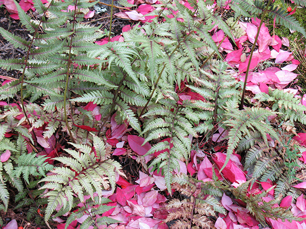 Japanese painted ferns and fallen red leaves