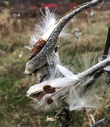 milkweed pods in November
