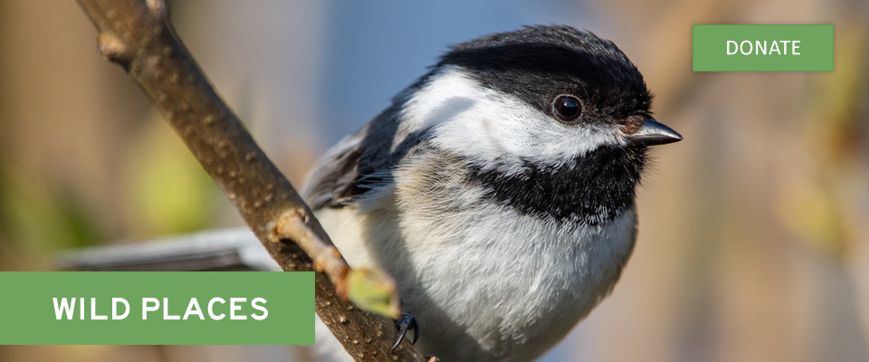 """Black-capped chickadee and text """"Wild Places"""""""