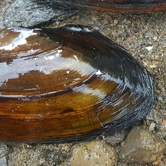 alewife floater mussel