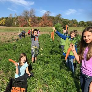 group of students harvesting huge carrots