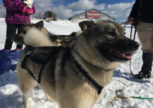 Norwegian elkhound ready to pull the sled